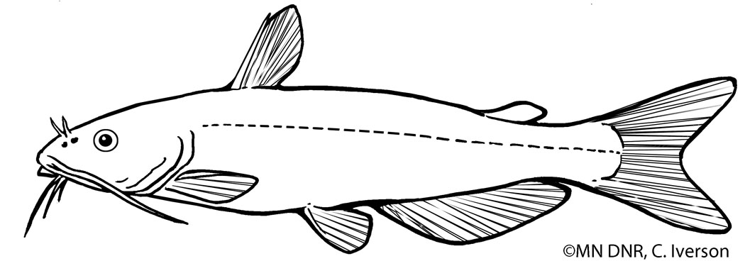 Channel Catfish Outline