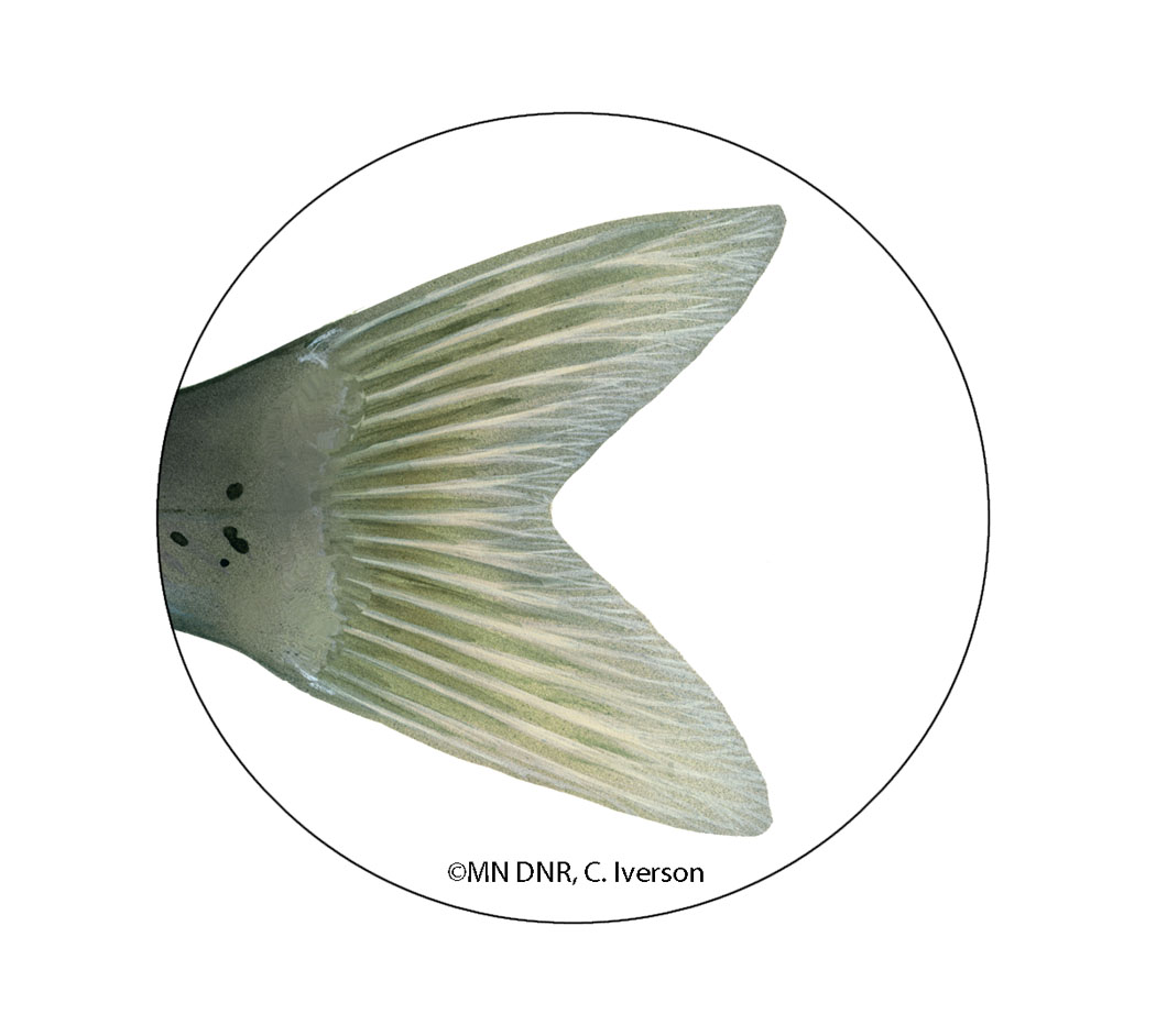 Channel Catfish Tail Fin