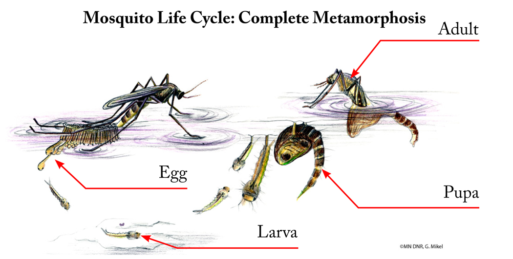 Complete Insect Metamorphosis with labels
