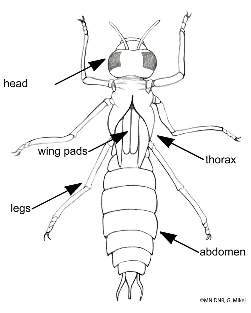 Dragonfly larva labeled