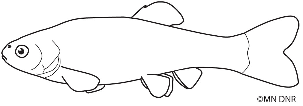 Fathead Minnow Outline