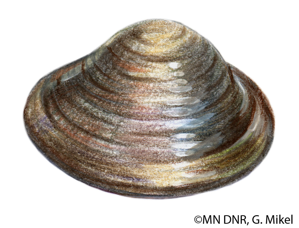 Fingernail Clam