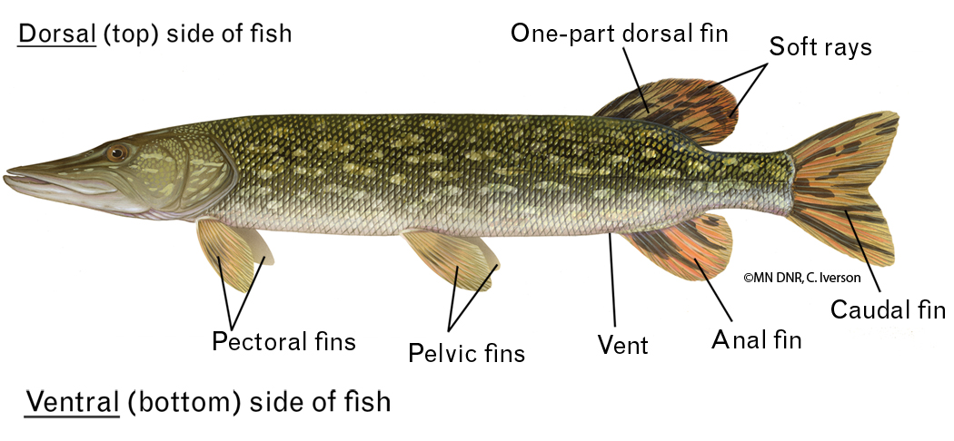 Northern Pike Fins Labeled