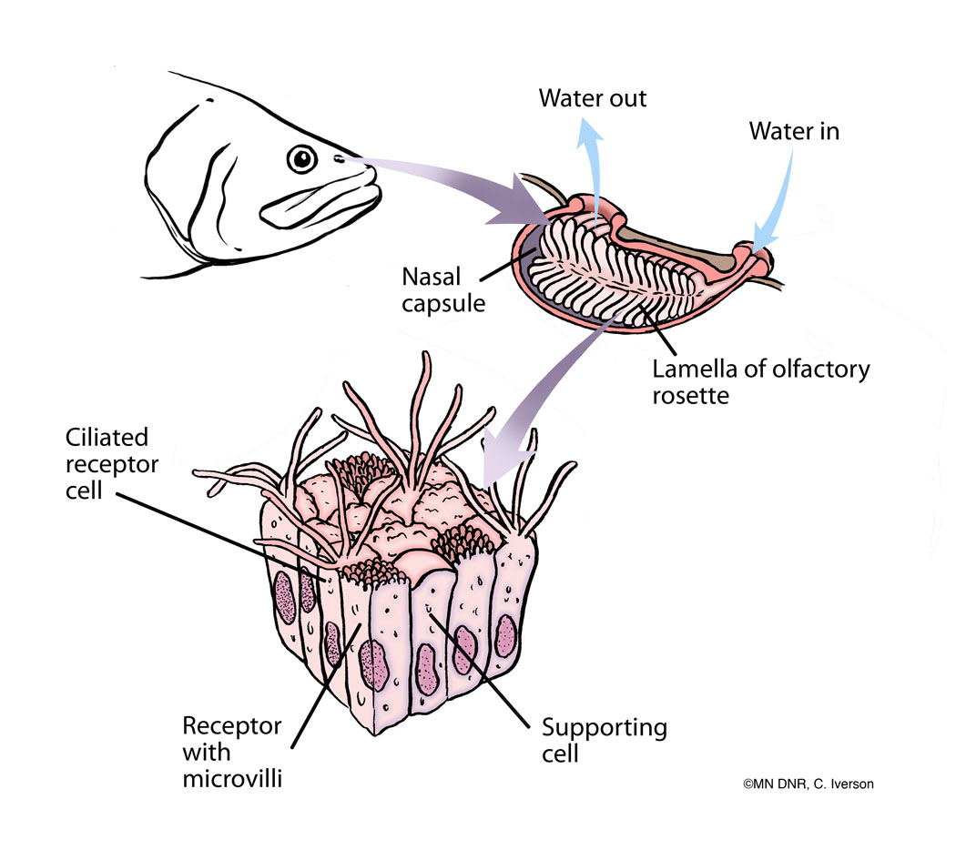 Diagram of a Fish Nostril