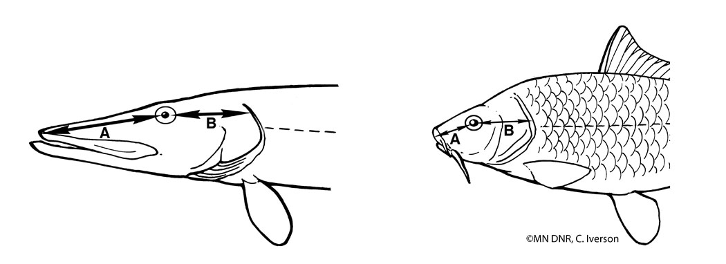 Fish Snout Measurement