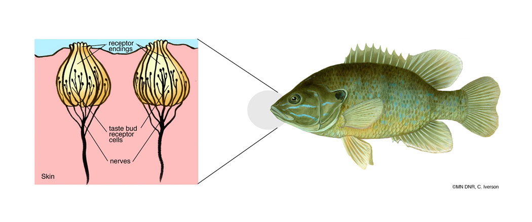 Diagram of Fish Taste Buds