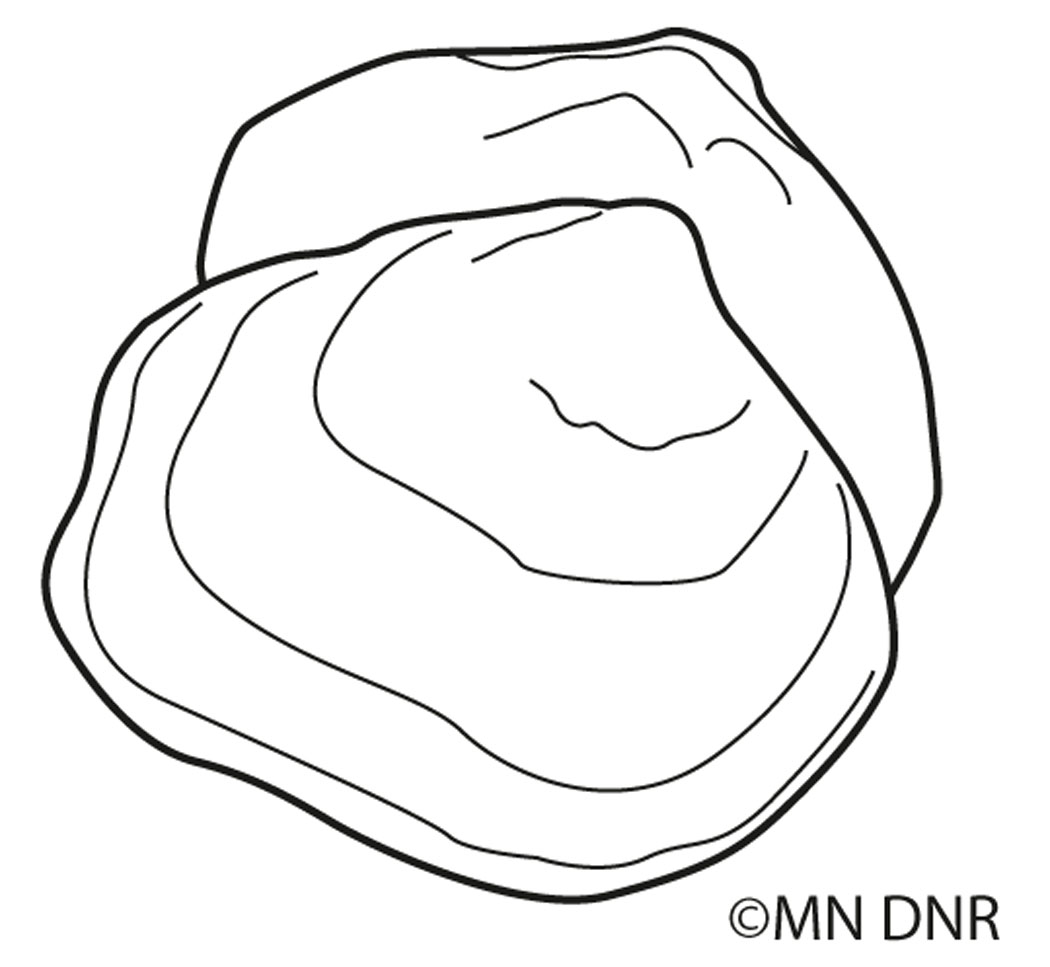 Freshwater Mussel Outline