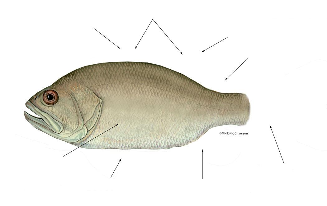 Generic Fish wihtout fins