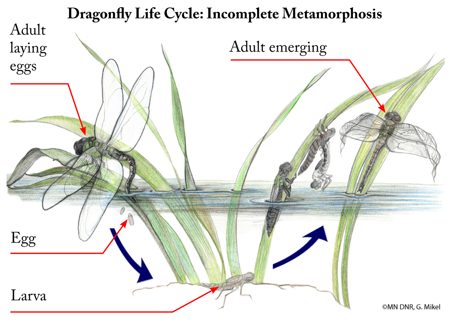 Incomplete Insect Metamorphosis with labels