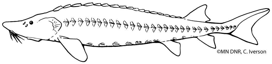 Lake Sturgeon Outline