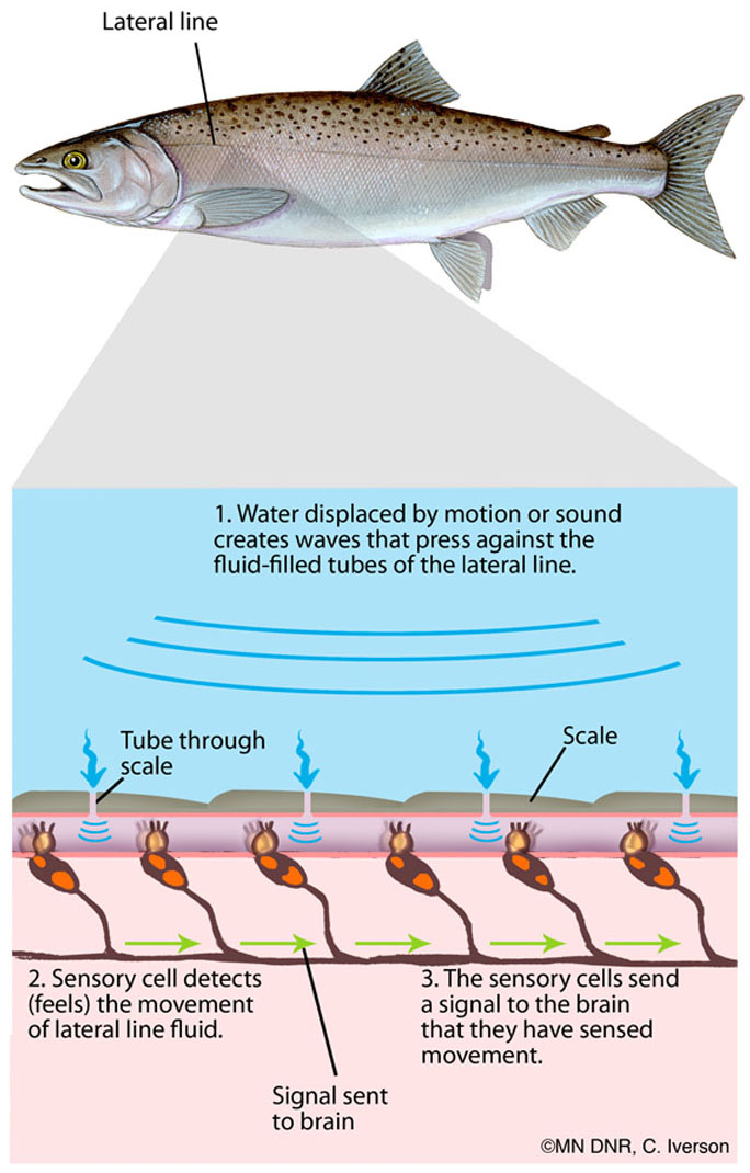Diagram of a Lateral Line