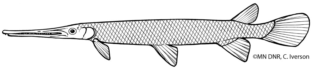 Longnose Gar Outline