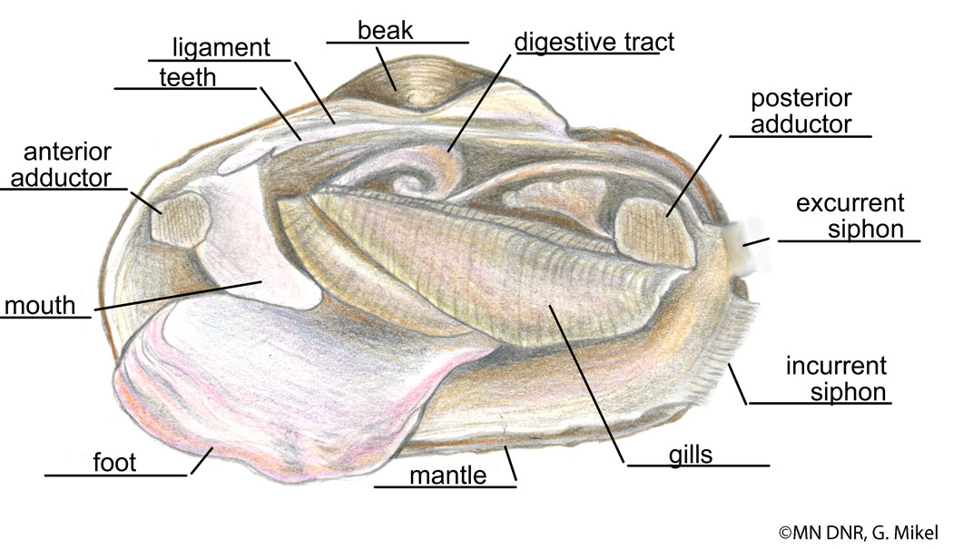 Freshwater Mussel Anatomy