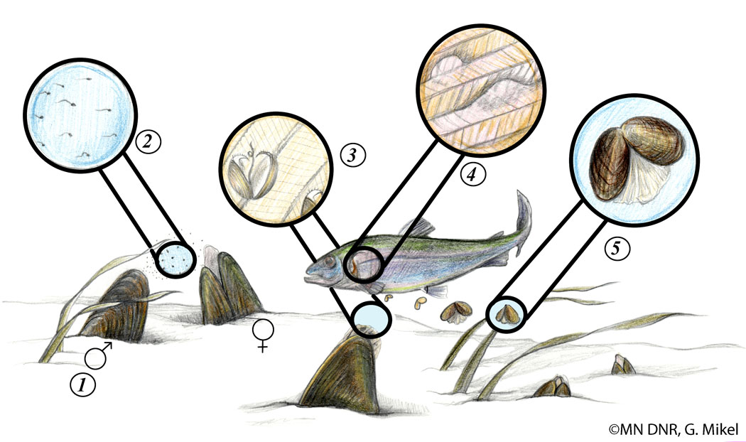 Freshwater Mussel Life Cycle