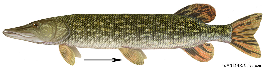 Northern Pike Horizontal Fin Placement