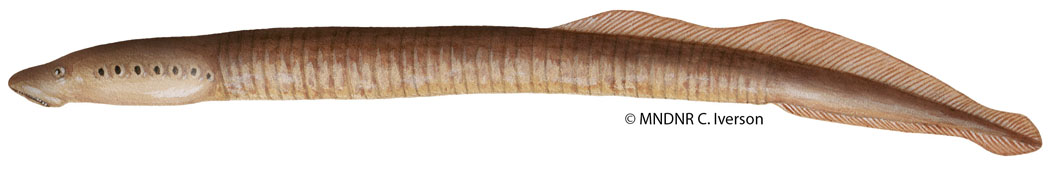 Northern Brook Lamprey