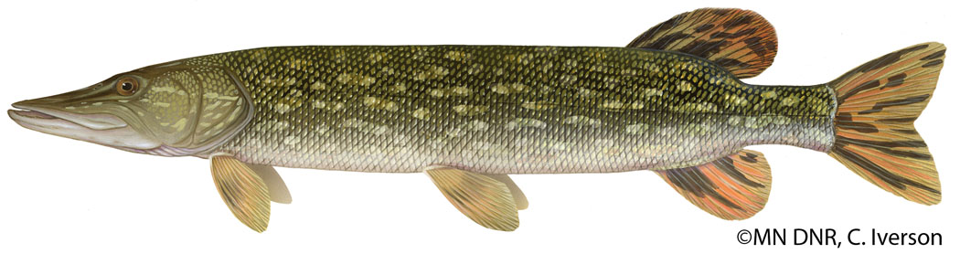 Northern Pike Adult