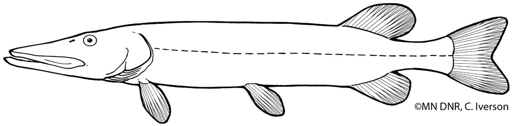 Northern Pike Outline