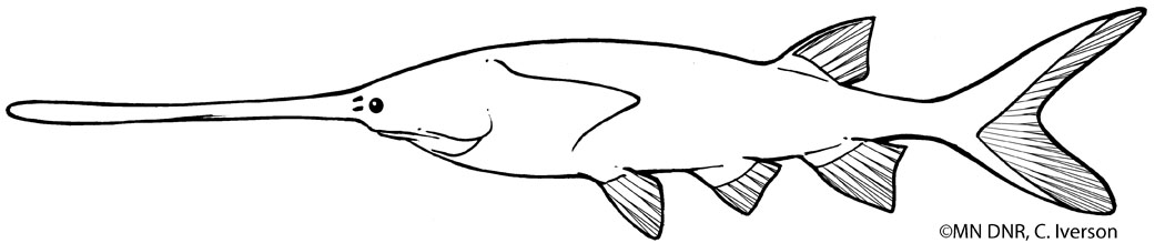 Paddlefish Outline