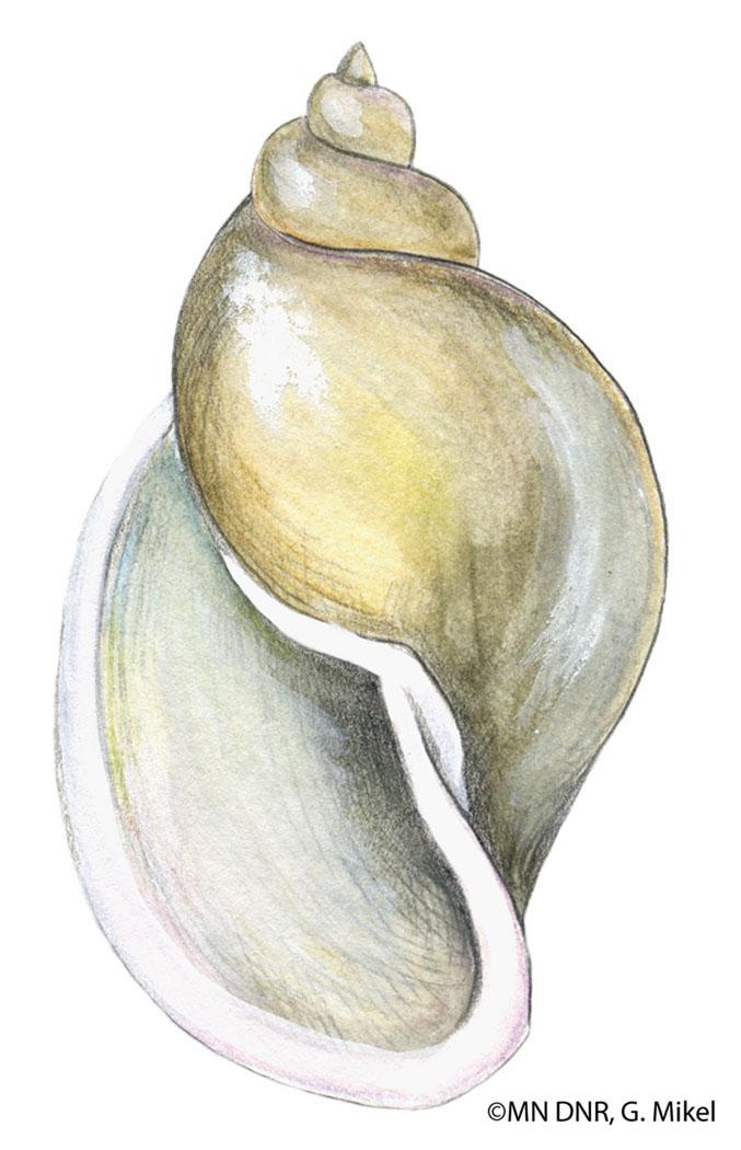 Pouch Snail Shell