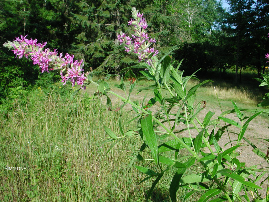 Purple Loosestrife Photo