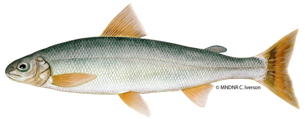 Round Whitefish