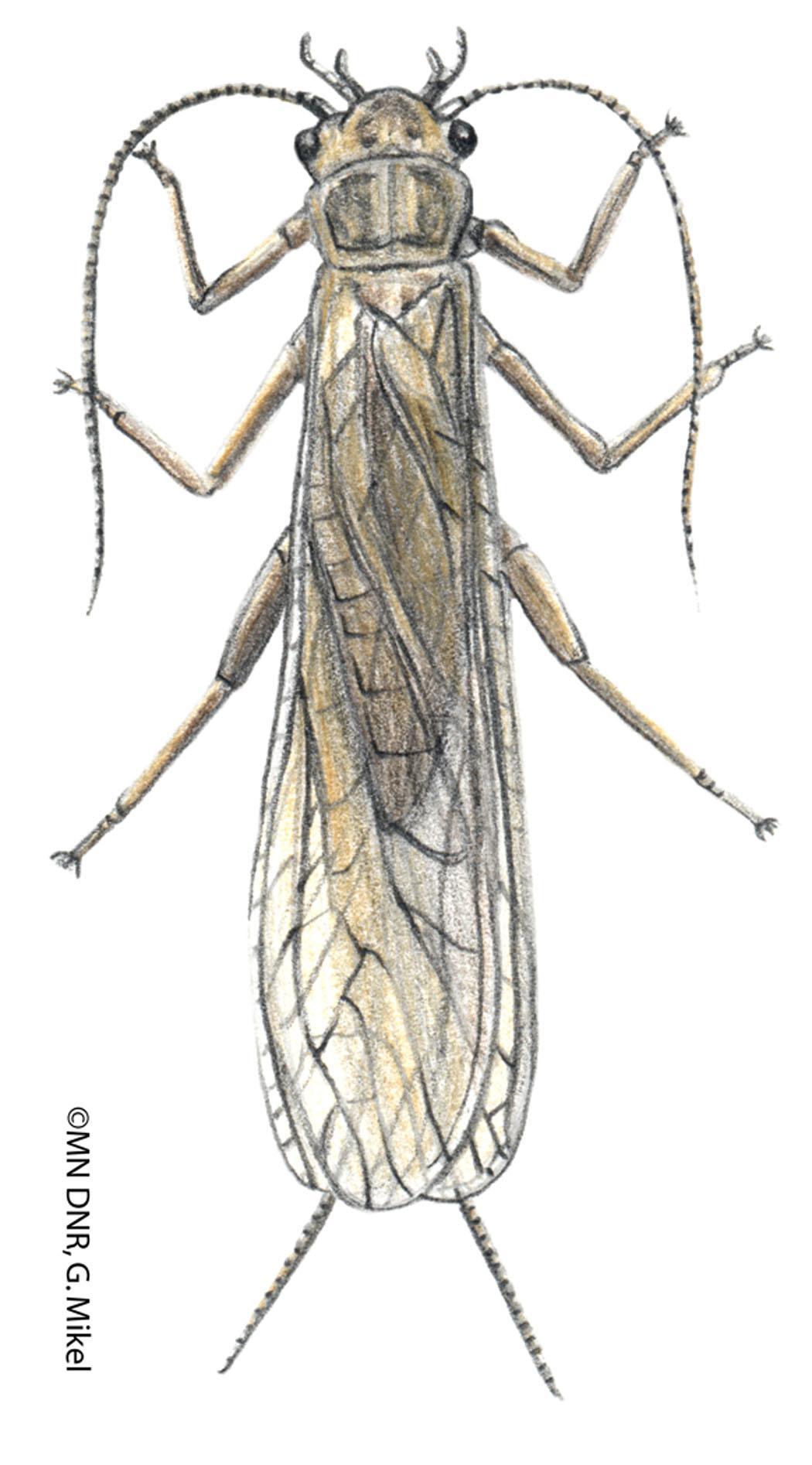 Stonefly Adult