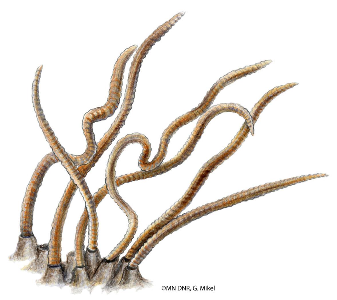 Tubifex Worm
