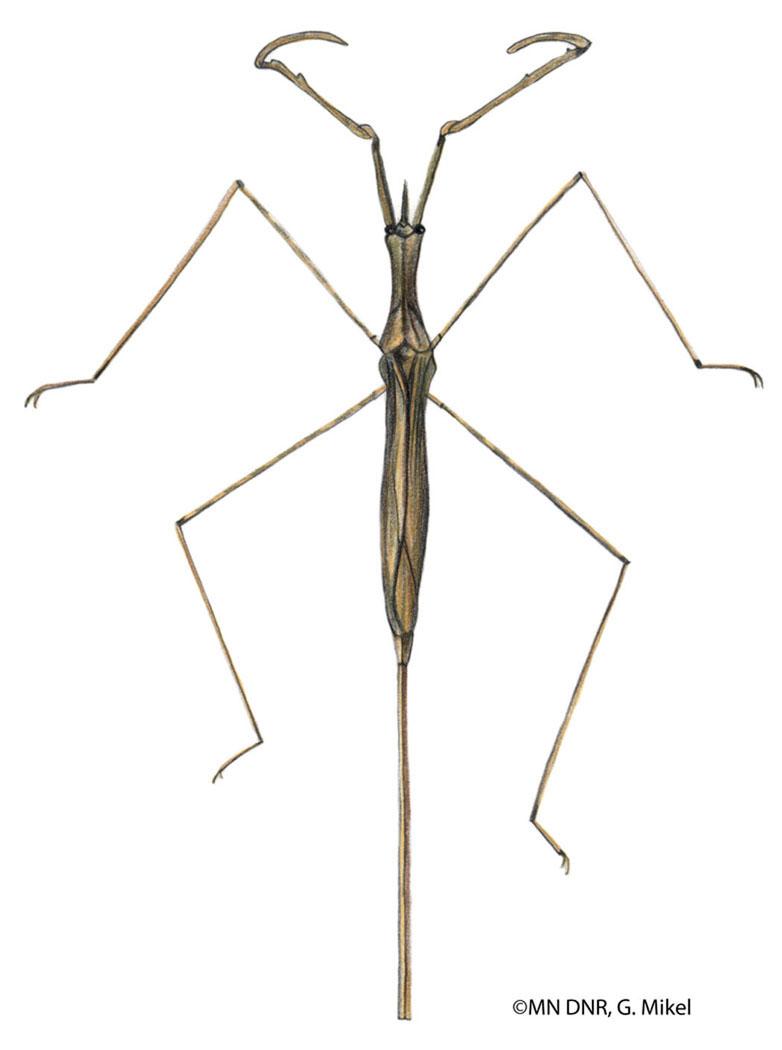 Water Scorpion: Ranatra