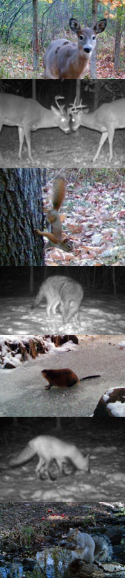 white-tailed deer, red squirrel, coyote, muskrat, red fox, and gray squirrel