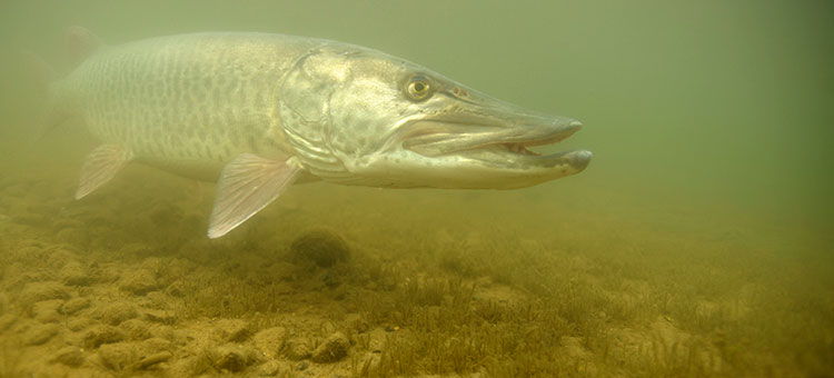 Underwater photo of a muskellunge