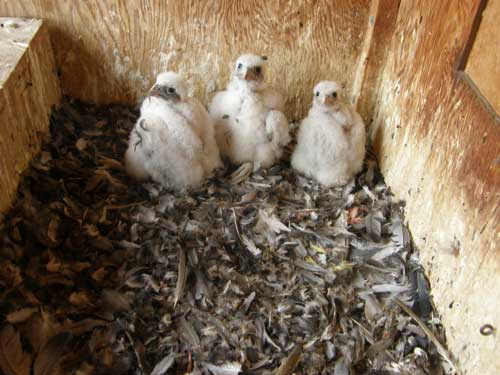 Peregrine falcon chicks nesting in downtown St. Paul.