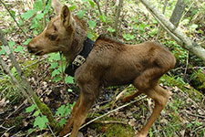 A collared, days-old moose calf