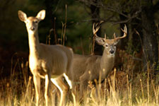 A doe and buck in the field.
