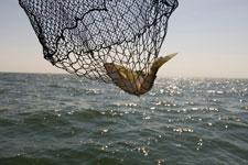 A Mille Lacs Lake walleye in a landing net