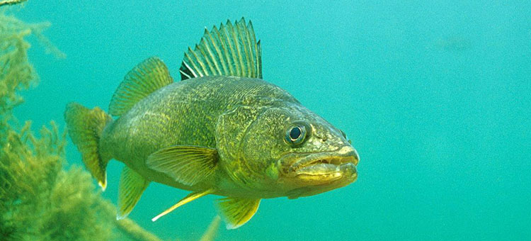 A walleye swimming