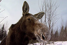 A cow moose in winter