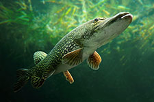 A northern pike