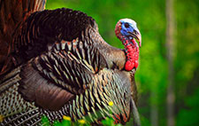 A male eastern wild turkey