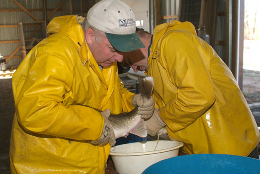 The Spicer fisheries crew takes eggs from a walleye for use at the New London hatchery.
