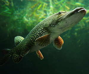Nother Pike