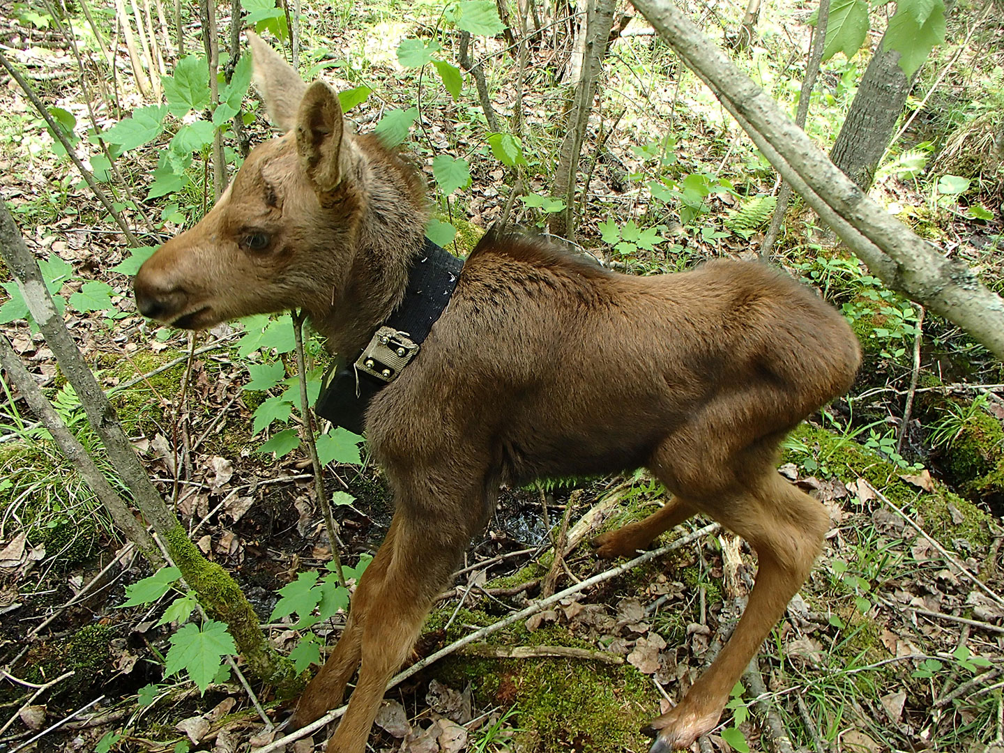 A newborn moose calf wearing a GPS collar.