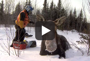 Moose Research Project 2013