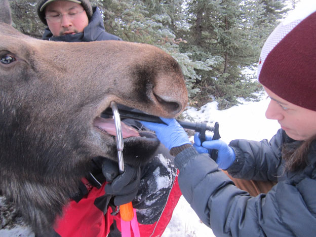 Researchers insert an MIT into a moose in Alaska