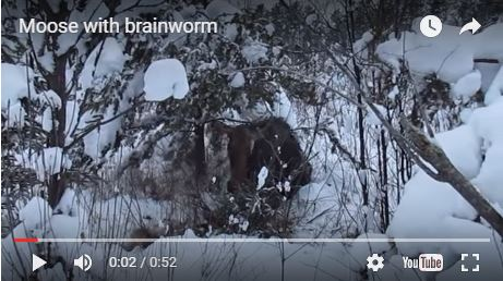 A moose with brainworm