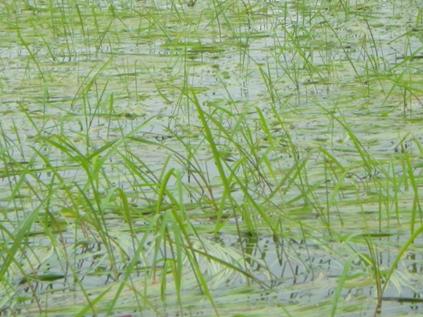 Wild rice lake