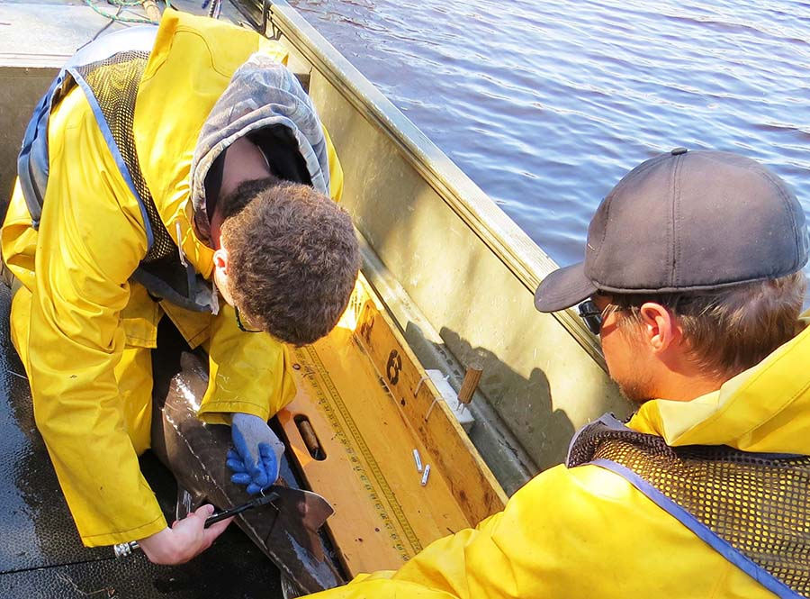 Baudette staff  tag a lake sturgeon before releasing it back into the Rainy River. Fisheries biologists use the information gained to understand movement, habitat use, reproduction and harvest rates to responsibly manage this highly prized recovering fishery.