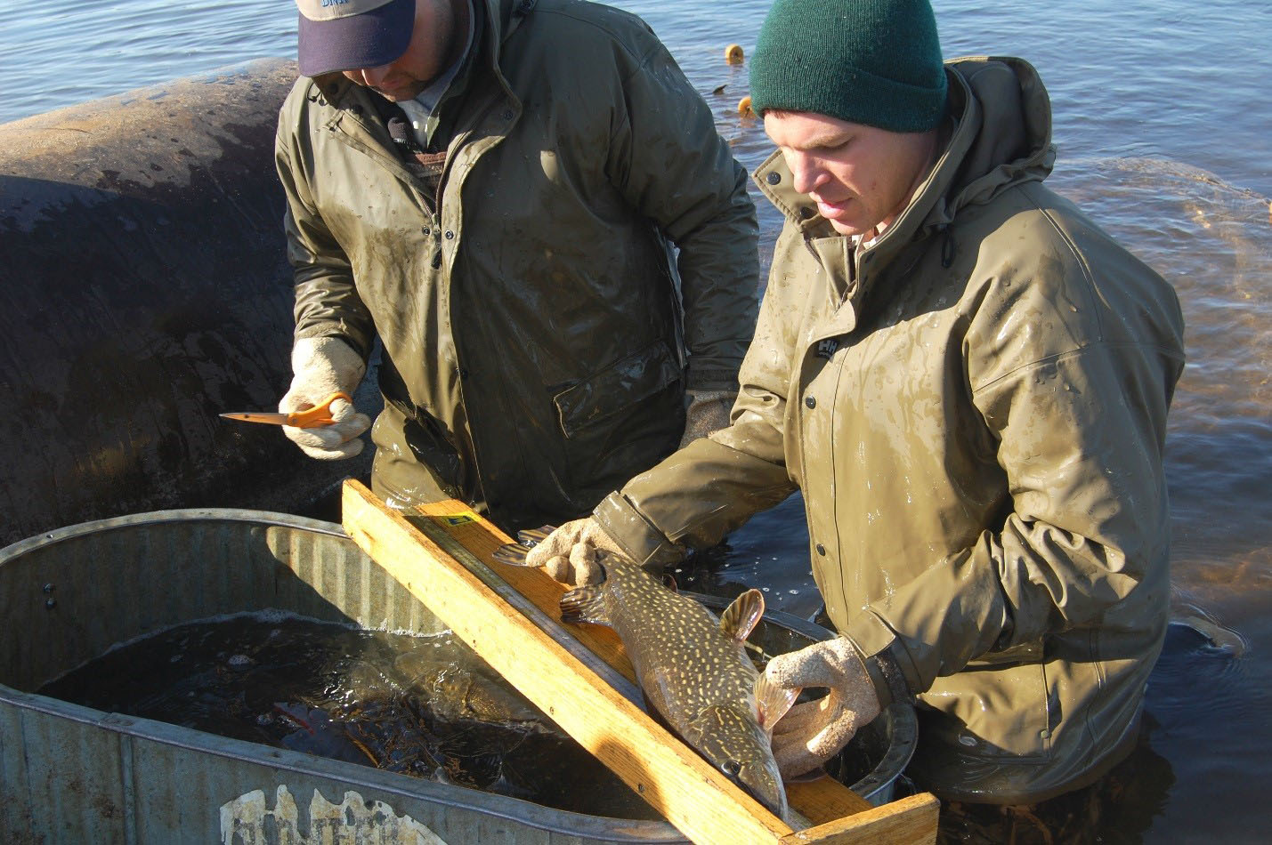 Brainerd area fisheries staff sampling northern pike in Gull Lake at ice-out.