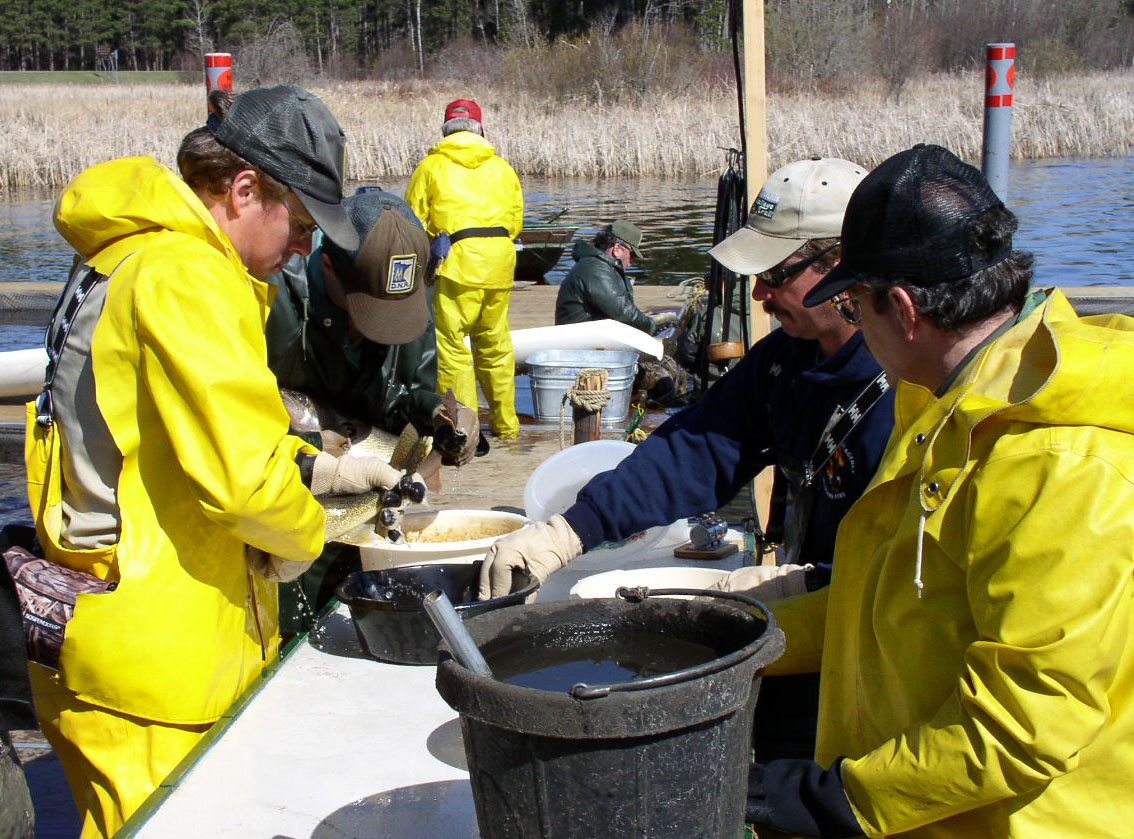 The Grand Rapids fisheries crew takes walleye eggs at Little Cut Foot Sioux Lake during the spring spawn.
