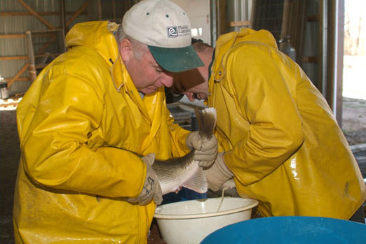The Spicer crew takes walleye eggs at the New London hatchery.